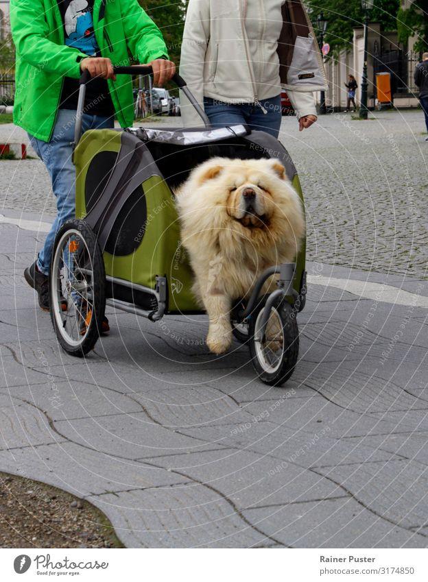Hund in Buggy Düsseldorf Stadtzentrum Straße Kinderwagen 1 Tier gold grau grün Zufriedenheit Tierliebe Trägheit bequem Freude Farbfoto Außenaufnahme