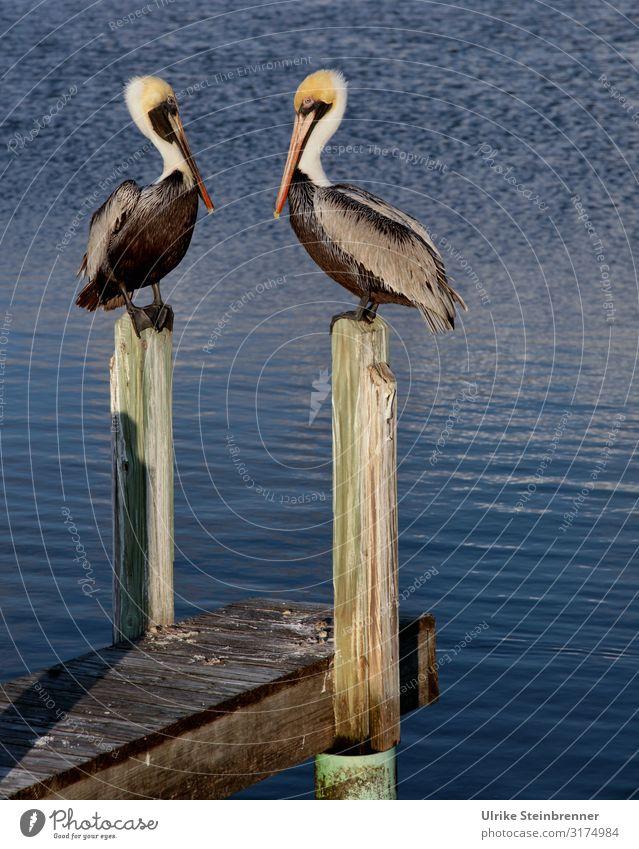 Zwei Pelikane sitzen auf Holzdalben Paar Vogel Pier Holzpier Holzsteg Pelecanus Wasser Wasservögel Meer Küste beobachten aufmerksam zusammen gemeinsam Fischer