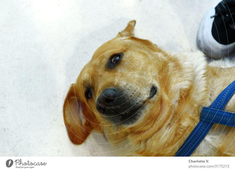 Weiterkraulen! | UT HH19 Tier Haustier Hund Tiergesicht beobachten liegen Blick blond authentisch Freundlichkeit kuschlig natürlich niedlich gelb grau Gefühle