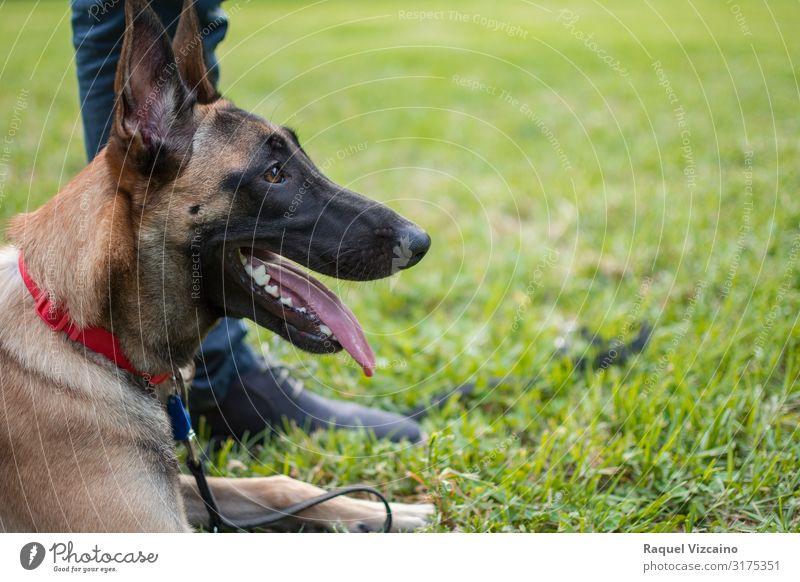 Profil eines Hundes Freundschaft Fuß Natur Tier Gras Park Haustier 1 niedlich braun grün schwarz Schäfer Deutsch Malinois Deutscher Schäferhund Welpe züchten