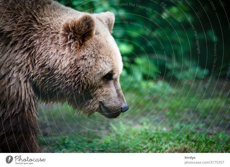 bärenstark Natur Sommer Wiese Wald Wildtier Tiergesicht Braunbär 1 ästhetisch authentisch kuschlig positiv schön braun grün Zufriedenheit Kraft bedrohlich