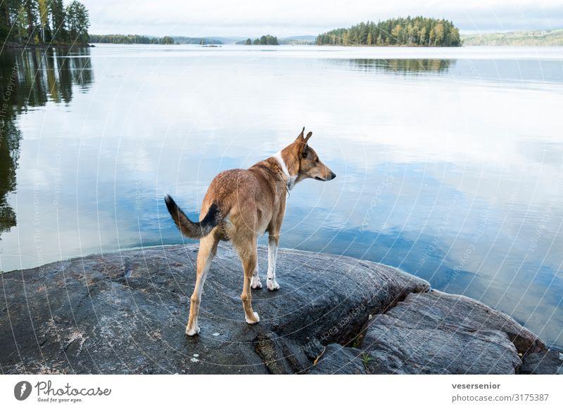 Collie am See Seeufer Haustier Hund 1 Tier beobachten Blick Neugier Tierliebe Wachsamkeit Interesse Abenteuer entdecken Erwartung Ferne Farbfoto Gedeckte Farben