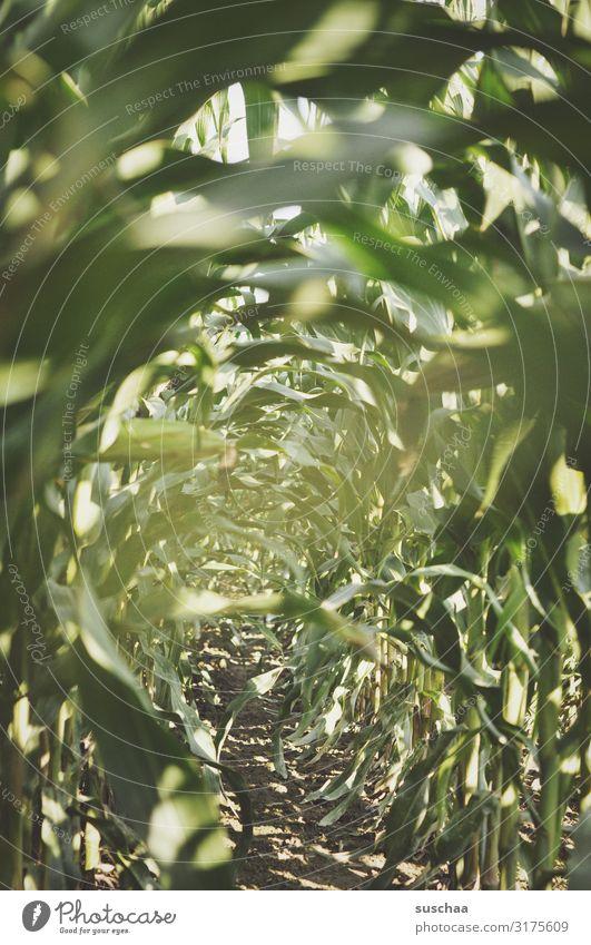 im maisfeld Mais Ernte Feld Feldarbeit Futtermais Maisfeld Landwirtschaft Blatt Maisblatt grün üppig (Wuchs) Wachstum Erde Urwald Mitte verborgen verstecken