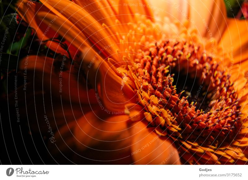 Nahaufnahme einer Gerbera Pflanze Blume Blüte Duft frisch gelb orange schwarz Zufriedenheit Blumenstrauß Farbfoto Innenaufnahme Makroaufnahme Menschenleer