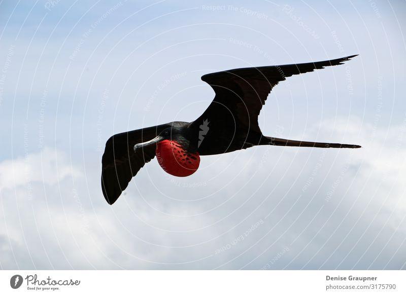 Flying male frigate bird in the Galapagos Islands Umwelt Natur Landschaft Klima Schönes Wetter Park Tier Vogel 1 fliegen Ferien & Urlaub & Reisen