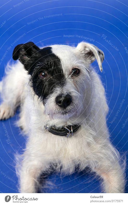 Parson Jack Russel Terrier Tier Haustier Hund Fell Pfote 1 Freude Parson Jack Russell Vierbeiner Portrait schwarzweiß schön Freund treu Platz liegend Farbfoto
