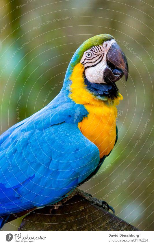 Ara Ferien & Urlaub & Reisen Expedition Natur Schönes Wetter Wald Urwald Wildtier Vogel 1 Tier exotisch schön Abenteuer Umweltschutz Papageienvogel gelb blau