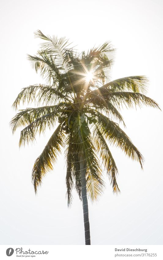 Palme Ferien & Urlaub & Reisen Sommerurlaub Sonnenbad Natur Wolkenloser Himmel Frühling Schönes Wetter Pflanze Idylle Brasilien Palmenwedel Palmenstrand