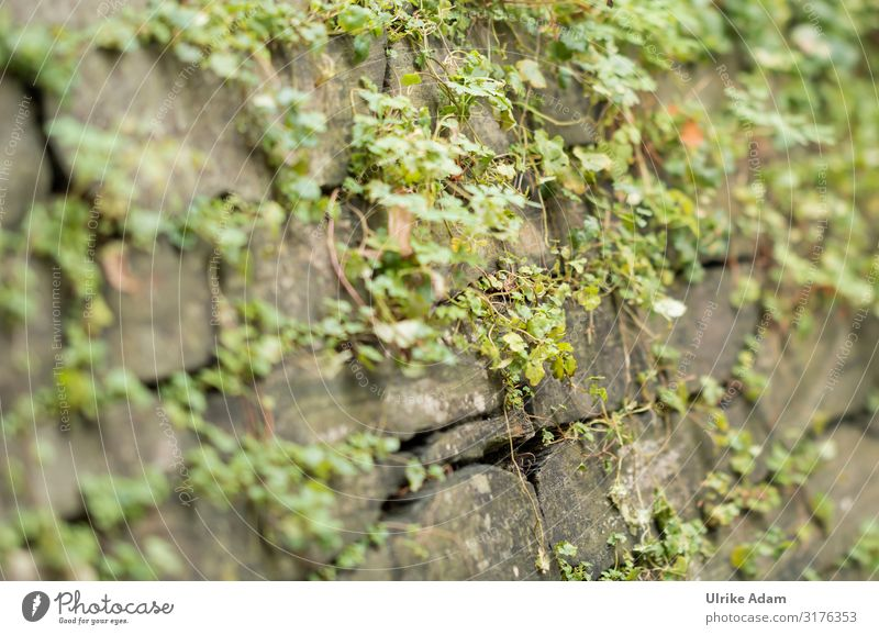 Grünzeug auf Mauer Design Natur Pflanze Frühling Sommer Herbst Sträucher Blatt Bodendecker Garten Park Wand Mauerpflanze Stein hängen natürlich grün Wachstum