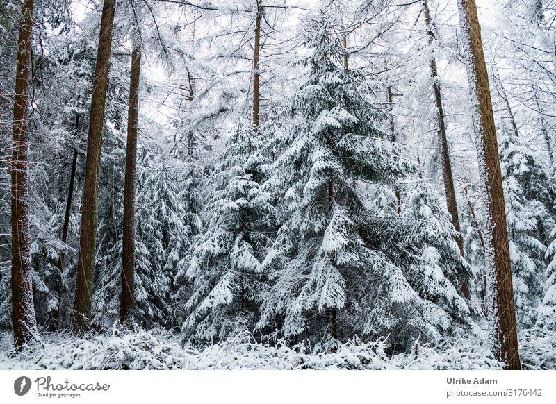 Schneebedeckte Tannen im Wald Ferien & Urlaub & Reisen Tourismus Ausflug Winter Winterurlaub wandern Postkarte Weihnachten & Advent Natur Landschaft Pflanze