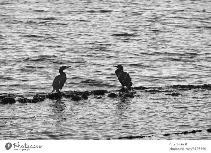 Kurzer Plausch | UT HH19 Umwelt Natur Tier Wildtier Kormoran 2 Stein Wasser hocken Kommunizieren stehen einfach Flüssigkeit Zusammensein maritim natürlich grau