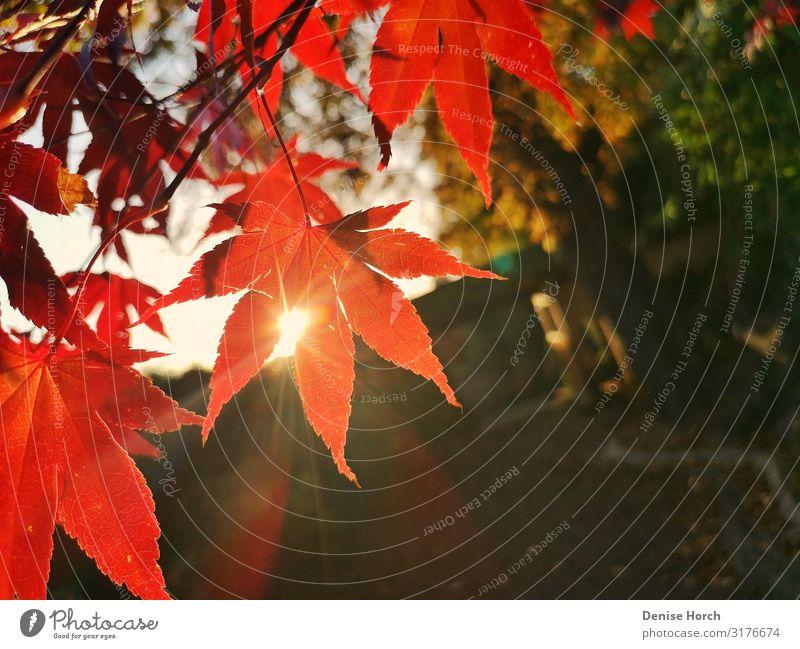 Blatt im Sonnenschein Pflanze Sonnenlicht Herbst Schönes Wetter Baum Garten Menschenleer beobachten entdecken Erholung genießen hocken sprechen Blick träumen