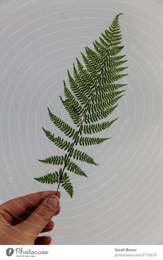Grüne Perfektion Dekoration & Verzierung Hand Kunst Umwelt Natur Pflanze Farn Blatt Grünpflanze Wildpflanze Wald Mauer Wand berühren tragen ästhetisch natürlich
