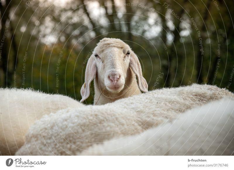 Hallo du Natur Herbst Sträucher Wiese Tier Nutztier Tiergesicht Tiergruppe Herde beobachten Blick Neugier Schaf Schafherde Schafswolle Landwirtschaft Weide