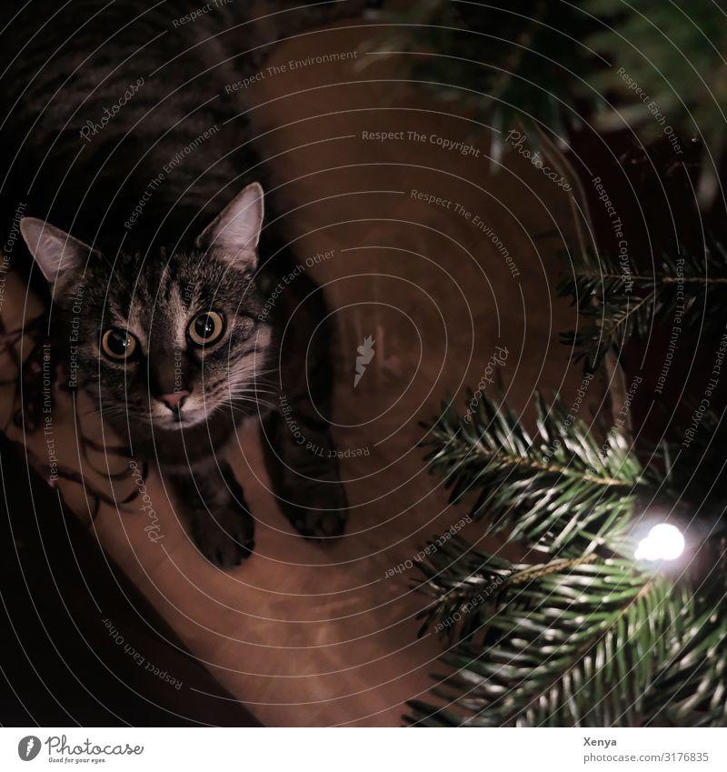 Katze unter dem Weihnachtsbaum Tier Haustier Tiergesicht Pfote 1 beobachten braun grün Geborgenheit Weihnachten & Advent Gedeckte Farben Innenaufnahme