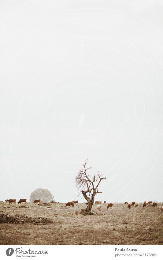 Isolierter Baum auf einem Feld mit Kühen Umwelt Natur Landschaft Klima Klimawandel Wetter ästhetisch einfach Alentejo Portugal Landwirtschaft Kuh Viehweide