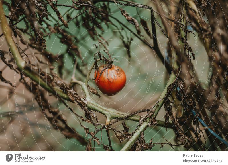 Gesunde Ernährung Pflanze rot Winter Gesundheit Lebensmittel Herbst Frucht frisch Wachstum einfach Gemüse Tomate saftig