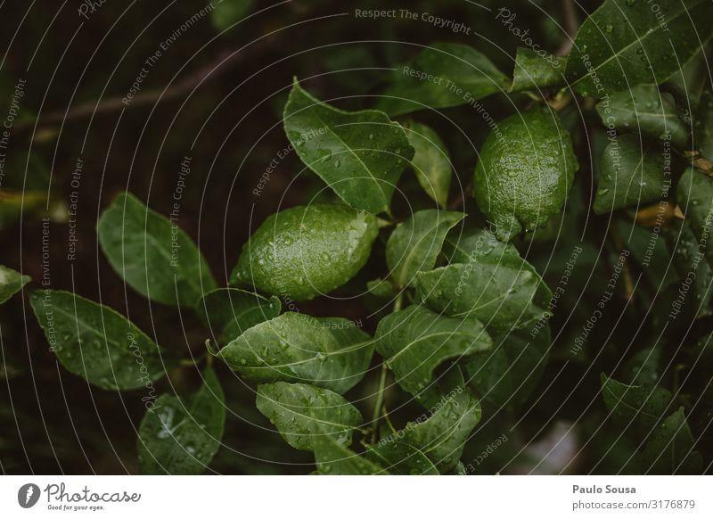 Grüne Zitronen am Baum Lebensmittel Frucht Zitronenbaum Limone Zitronenblatt Natur einfach nass natürlich Wellness frisch Obstbaum Bioprodukte organisch