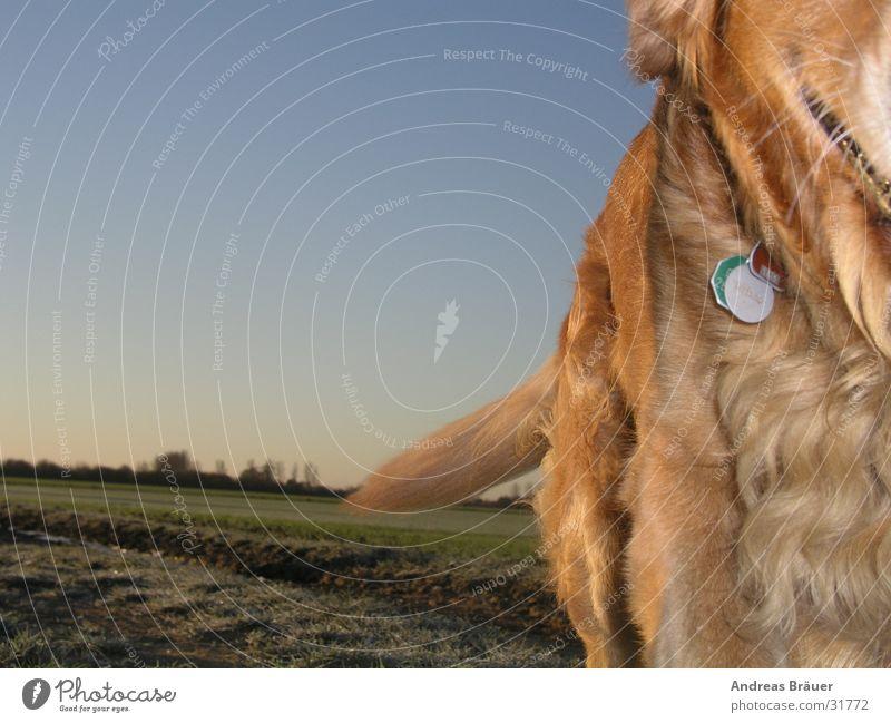 der Ausreißer Bewegung Hund Feld Spaziergang Fell Schwanz Blauer Himmel Plakette Gassi gehen Golden Retriever Hundemarke