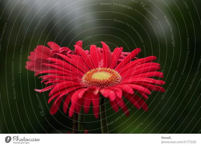 Die schöne Gerbera Natur Pflanze grün Landschaft rot Blume Tier Blatt Blüte Wiese Garten außergewöhnlich Duft Topfpflanze