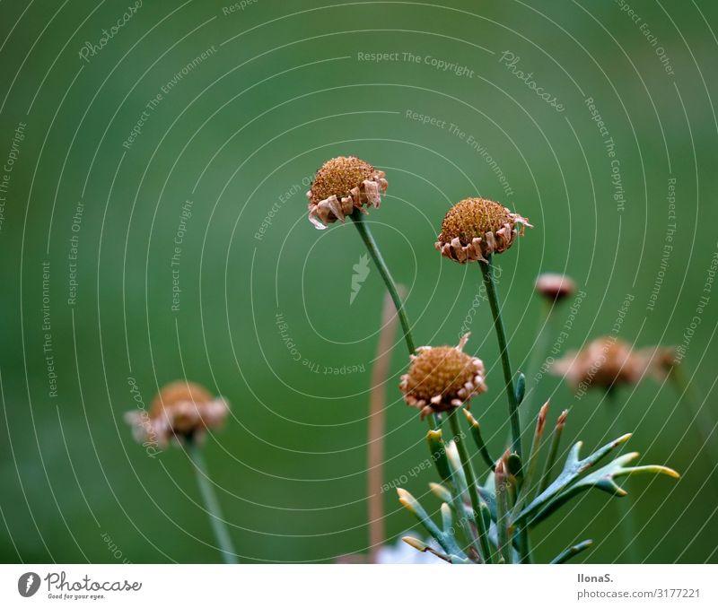 Schönheit vergeht Umwelt Natur Landschaft Pflanze Tier Herbst Klima Blume Gras Blatt Blüte Garten Park Wiese Feld alt Blühend verblüht dehydrieren Wachstum grün