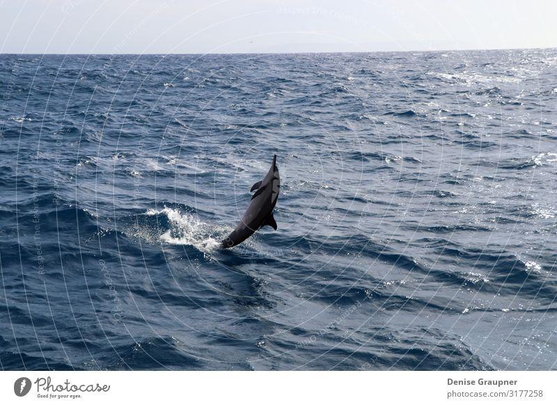 Spinner dolphin in Hawaii jumps out of the sea Sommer Umwelt Natur Landschaft Wasser Klima Schönes Wetter Wildtier 1 Tier Ferien & Urlaub & Reisen springen