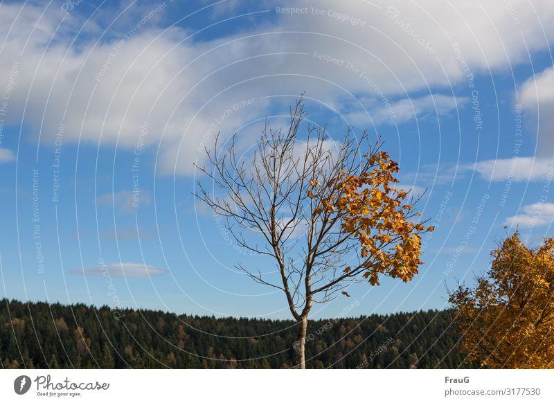 Halb ab Natur nackt Pflanze Baum Blatt Wald Herbst gold Schönes Wetter Vergänglichkeit Wandel & Veränderung Ahorn welk verlieren