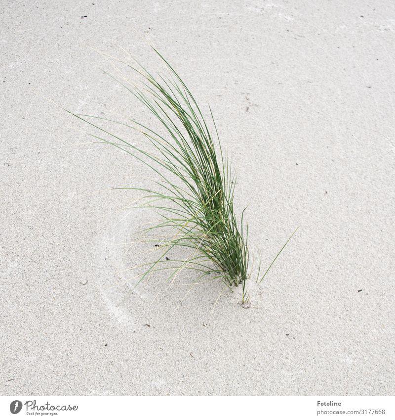 lange Wimpern Umwelt Natur Pflanze Urelemente Erde Sand Schönes Wetter Gras Küste Strand Nordsee Insel hell nah maritim natürlich grün weiß Helgoland Dünengras