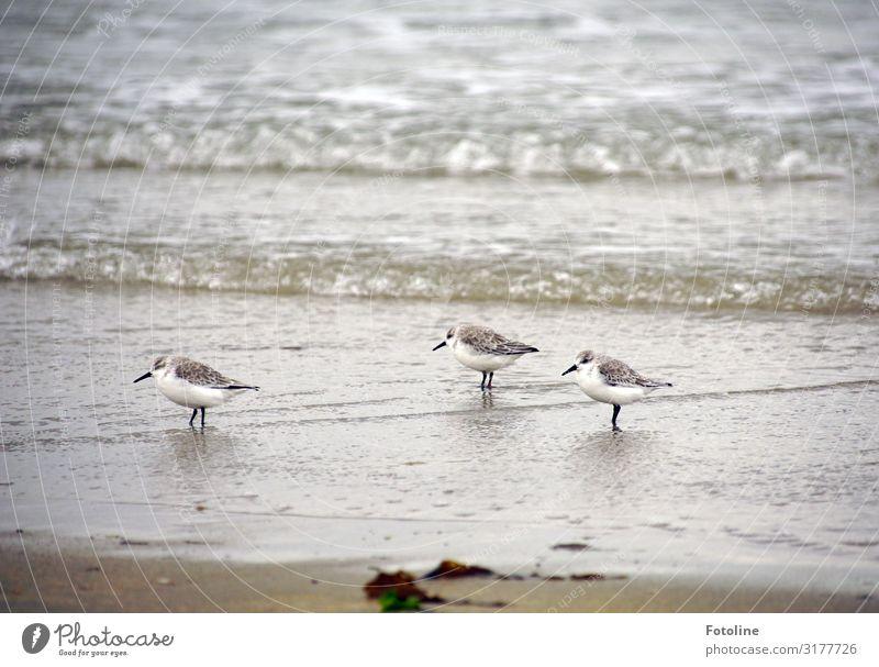 Alpenstrandläufer Umwelt Natur Tier Urelemente Erde Sand Wasser Wellen Küste Strand Nordsee Meer Insel frei hell klein maritim nass natürlich Geschwindigkeit
