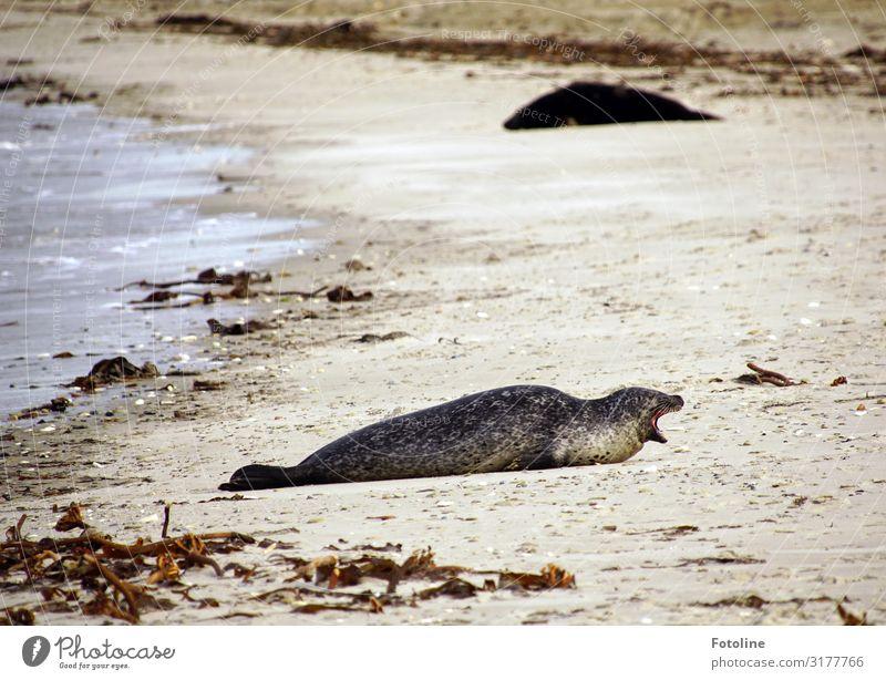 Muuuuaaaaaahhhhh! Umwelt Natur Landschaft Tier Urelemente Erde Sand Wasser Küste Strand Nordsee Meer Insel Wildtier Fell 1 frei hell maritim nass natürlich wild
