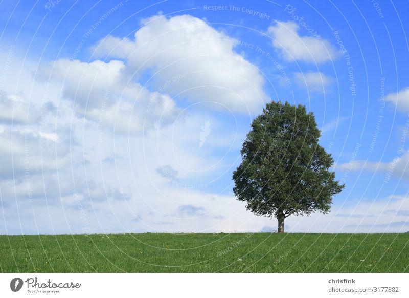 Baum vor blauem Himmel Umwelt Natur Landschaft Pflanze Holz Kugel Duft Gesundheit ruhig Wachstum Farbfoto Außenaufnahme Tag Abend