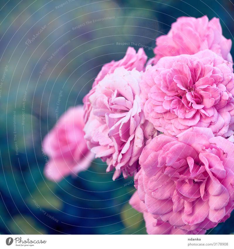 Knospen von rosa blühenden Rosen im Garten schön Sommer Gartenarbeit Natur Pflanze Blume Blatt Blüte Blumenstrauß frisch natürlich grün Romantik Farbe
