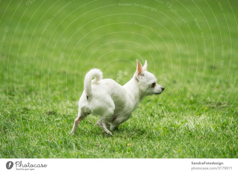 A little white chihuahua is playing outside Freude Sommer Garten Sport Natur Gras Park Wiese Tier Hund 1 laufen rennen springen mammal joy pet sweet young small
