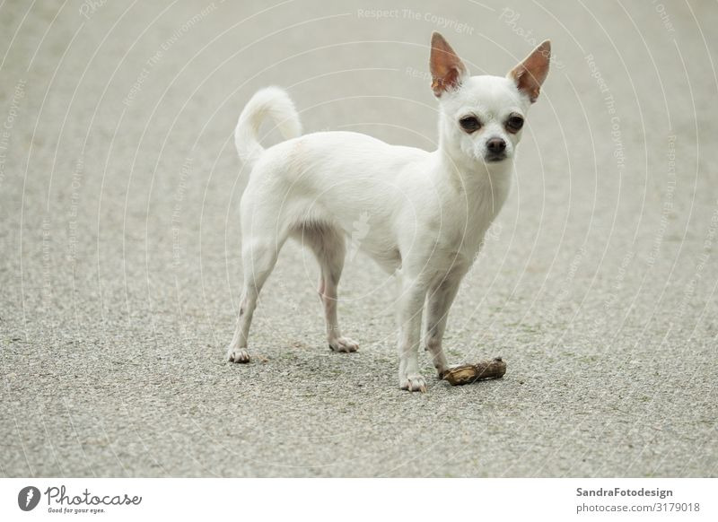 A little white chihuahua is playing outside Freude Sommer Sport wandern Natur Park Tier Hund 1 laufen mammal joy pet sweet young small purebred adorable puppy