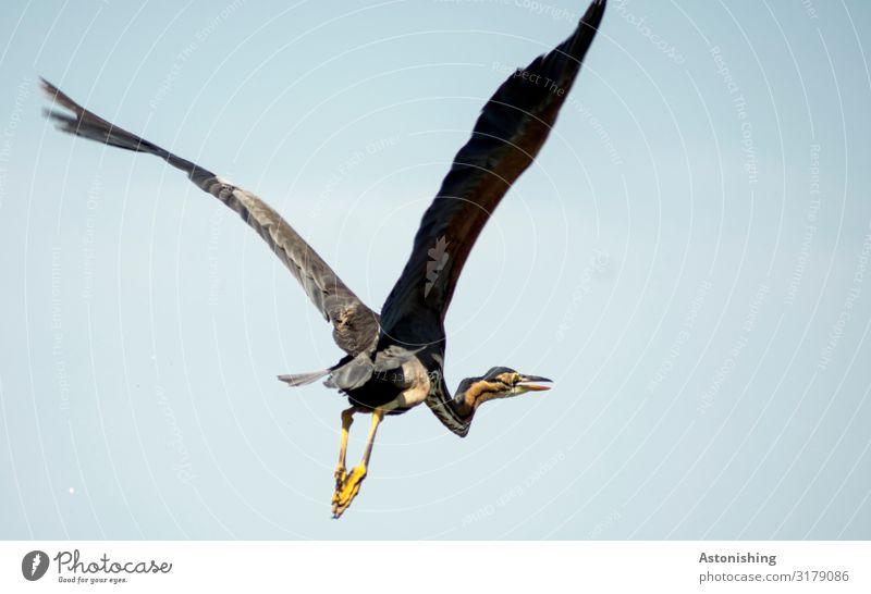 Roter Reiher Himmel Natur blau Tier Reisefotografie Beine gelb Umwelt Vogel fliegen oben Wildtier groß Flügel Fell lang