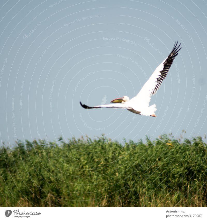 Pelikan Umwelt Natur Landschaft Pflanze Himmel Sommer Gras Sträucher Rumänien Tier Wildtier Vogel Tiergesicht Flügel Fell Schnabel Feder Beine Kopf 1 fliegen