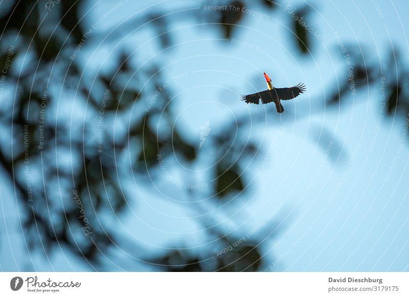 Riesentukan Ferien & Urlaub & Reisen Expedition Natur Wolkenloser Himmel Schönes Wetter Baum Urwald Wildtier Vogel 1 Tier Abenteuer erleben Querformat Brasilien