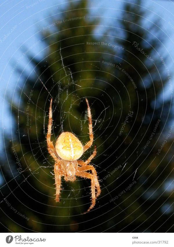 Spinne Himmel grün blau Tier Beine Rücken Netz Tanne beige Spinnennetz
