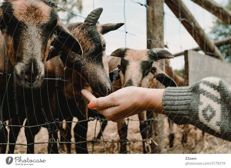 Füttern Freizeit & Hobby Ausflug Junge Frau Jugendliche Hand Umwelt Natur Herbst Park Pullover Nutztier Ziegen Tiergruppe Herde Fressen füttern Zusammensein
