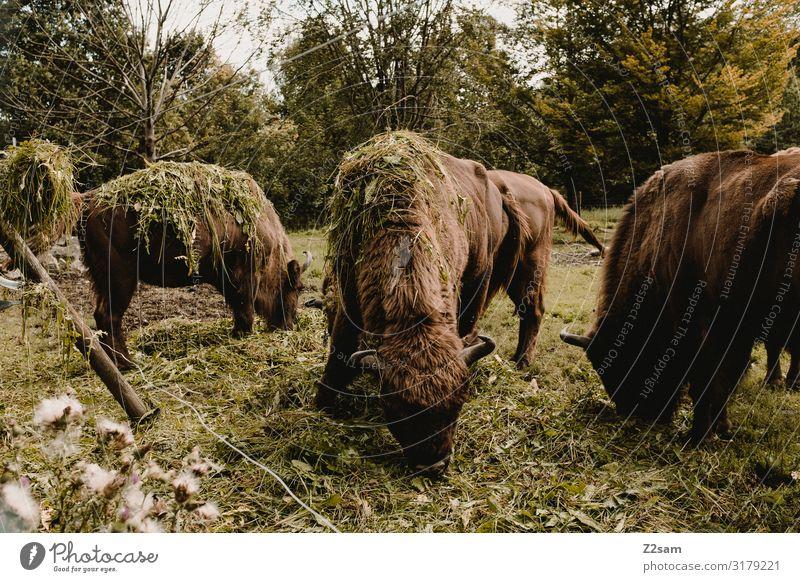 Buffalo Natur grün Landschaft Baum Umwelt natürlich Wiese Glück Zusammensein braun Zufriedenheit Idylle Tiergruppe genießen nachhaltig Fressen