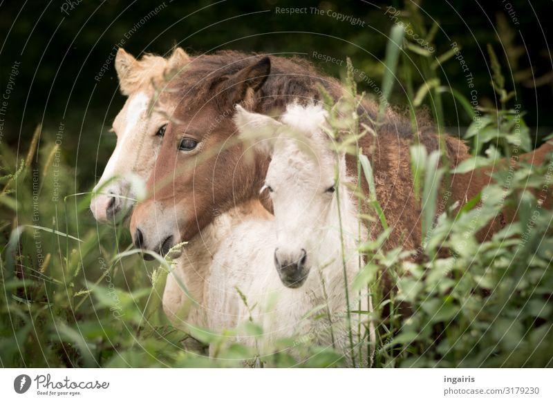 Kuscheln Natur Landschaft Gras Sträucher Weide Tier Nutztier Pferd Island Ponys Fohlen 3 Tiergruppe Tierjunges berühren genießen Freundlichkeit Zusammensein