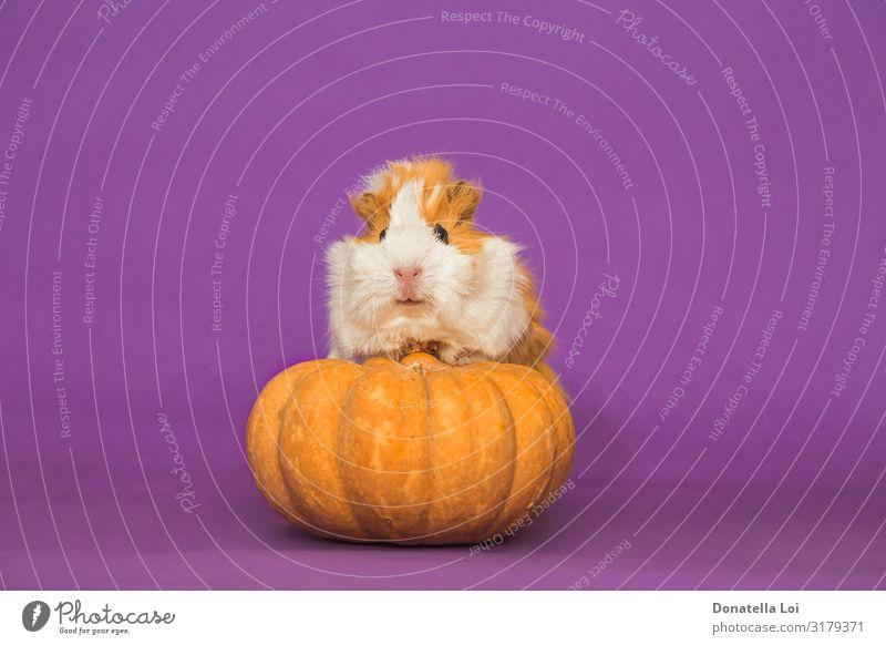 Liebenswertes Meerschweinchen mit Kürbis auf violettem Hintergrund Gemüse Bioprodukte Vegetarische Ernährung Feste & Feiern Halloween Tier Haustier 1 Diät klein