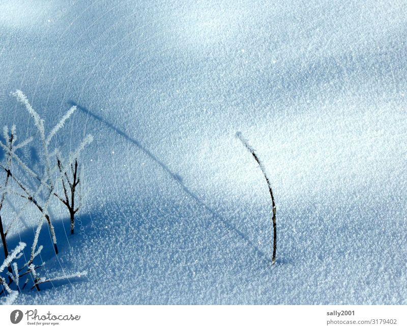 Einzelkämpfer... Natur Pflanze Winter Eis Frost Schnee frieren kämpfen stehen dehydrieren warten kalt Einsamkeit rein ruhig stagnierend Überleben einzeln