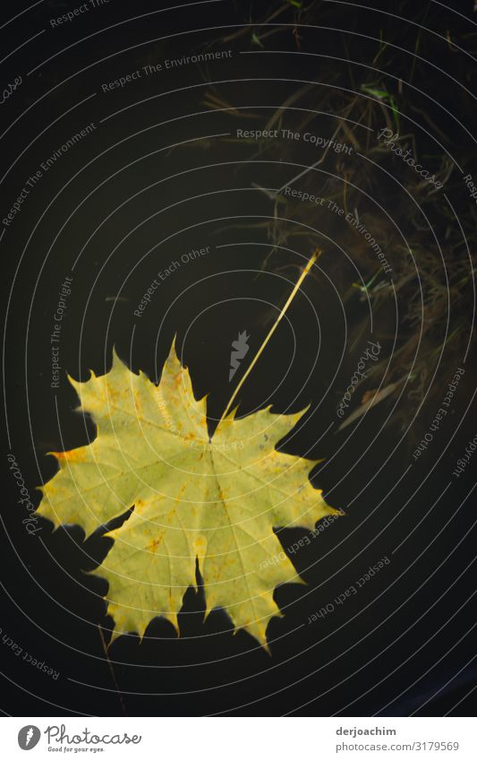 In das wasser gefallen ist das wunderschöne helle Blatt das im dunklem Wasser liegt. Freude Wohlgefühl wandern Umwelt Herbst Schönes Wetter Teich Bayern