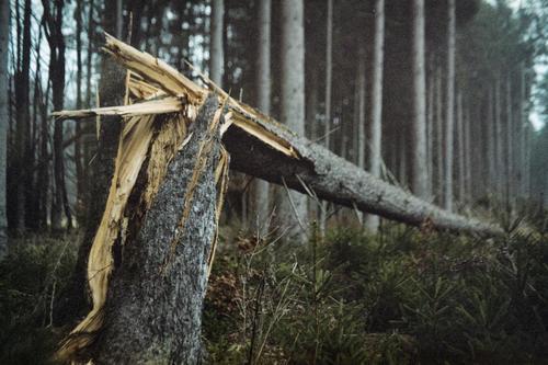 Baumbruch Natur Pflanze Wald dunkel Herbst gelb Umwelt kalt grau bedrohlich Unwetter Sturm Fichte Baumstumpf Sturmschaden
