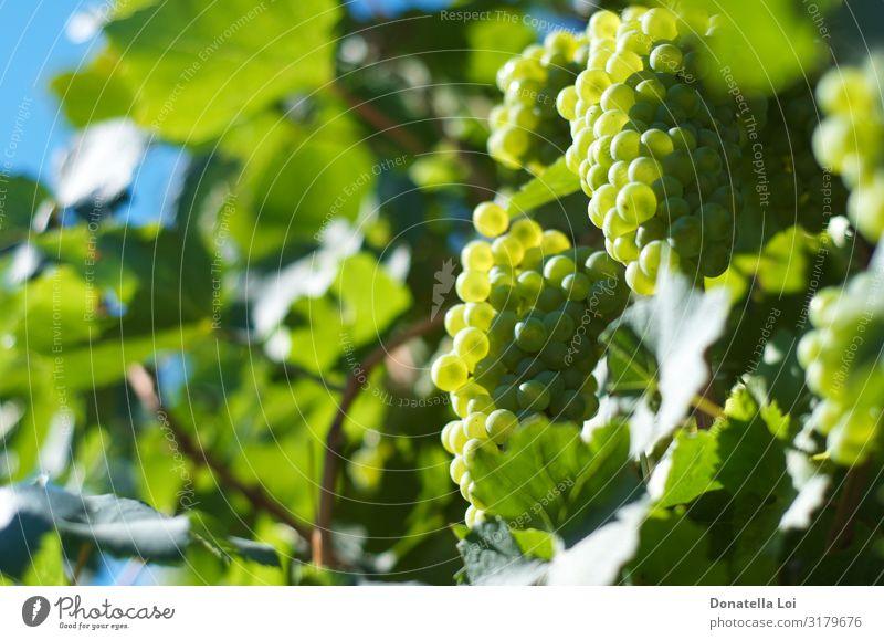 Trauben hautnah im Weinberg Lebensmittel Frucht Ernährung Bioprodukte Italienische Küche Natur Sommer Herbst Pflanze Blatt Nutzpflanze Diät füttern grün