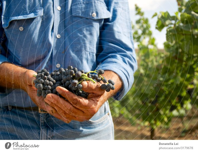 Mann mit Trauben in der Hand Lebensmittel Frucht Italienische Küche Wein Lifestyle Sommer Mensch Erwachsene Männlicher Senior 1 60 und älter Natur Nutzpflanze