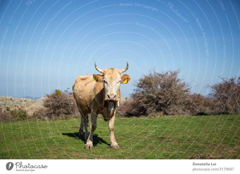Auf dem Gras grasende Kühe Sommer Natur Pflanze Tier Schönes Wetter Wiese Feld Haustier Nutztier Kuh 1 Fressen gehen stehen grün Umwelt Blauer Himmel
