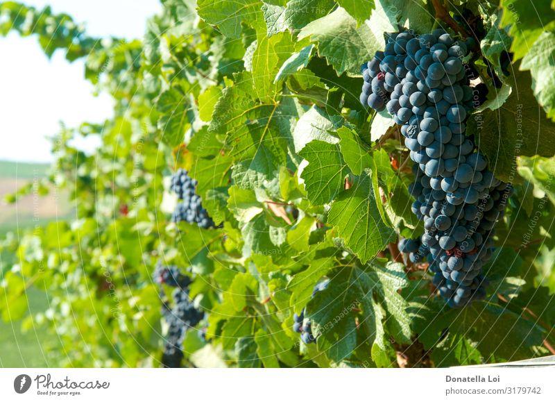 Schwarze Trauben auf den Weinbergen Lebensmittel Frucht Ernährung Essen Sommer Landwirtschaft Forstwirtschaft Umwelt Natur Herbst Schönes Wetter Blatt