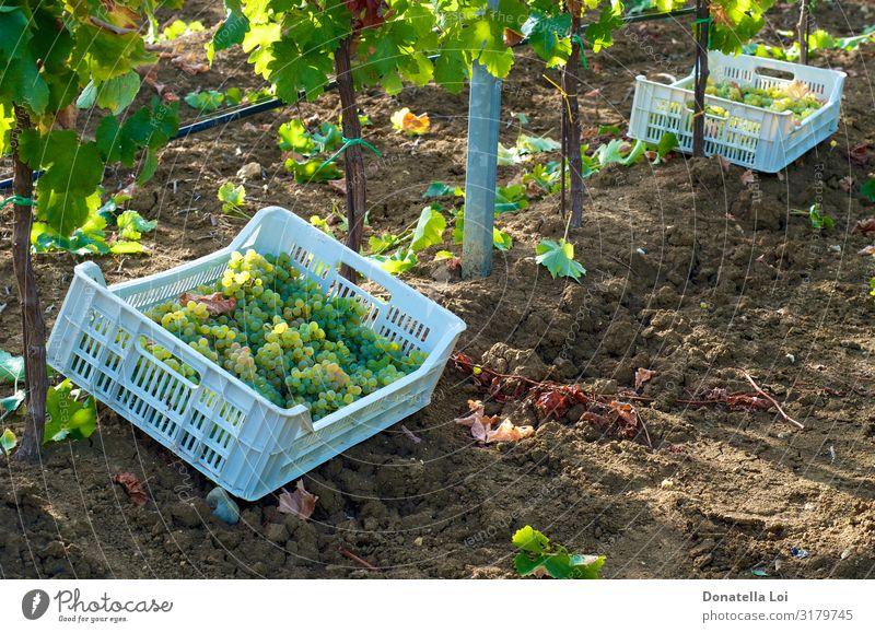 Traubenernte in Kisten Frucht Ernährung Essen Getränk Wein Sommer Pflanze Herbst Blatt Grünpflanze Nutzpflanze Feld Arbeit & Erwerbstätigkeit authentisch süß
